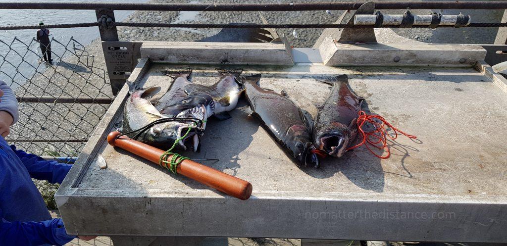 Anchorage - złowione łososie