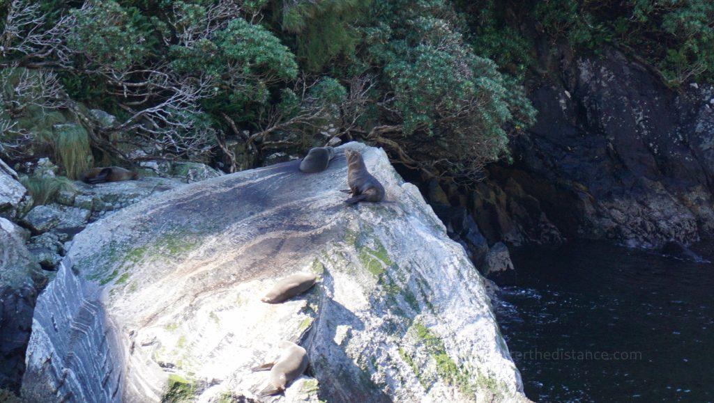 Wygrzewające się na skałach foki w Milford Sound